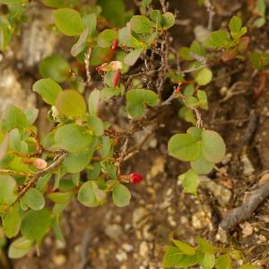 Photographie n°38717 du taxon Vaccinium uliginosum L. [1753]