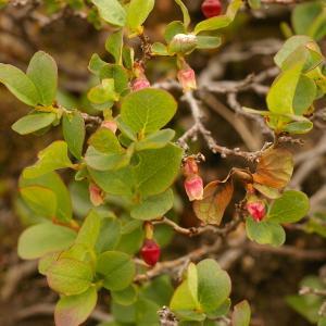 Photographie n°38719 du taxon Vaccinium uliginosum L.