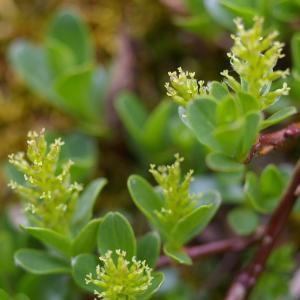 Photographie n°38734 du taxon Salix retusa L.