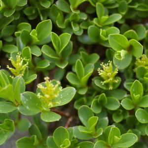 Photographie n°38735 du taxon Salix retusa L.
