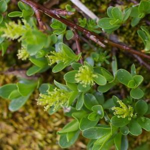 Photographie n°38736 du taxon Salix retusa L.
