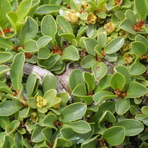 Photographie n°38755 du taxon Salix retusa L.