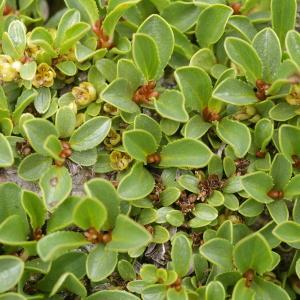 Photographie n°38756 du taxon Salix retusa L.