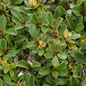 Photographie n°38757 du taxon Salix retusa L.