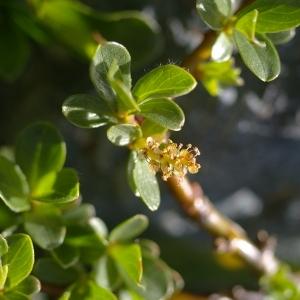 Photographie n°38765 du taxon Salix retusa L.