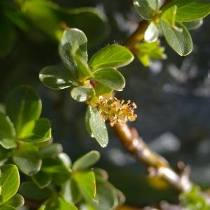 Photographie n°38766 du taxon Salix retusa L.