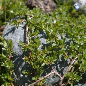 Photographie n°38767 du taxon Salix retusa L.