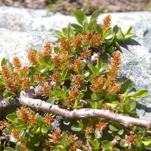 Photographie n°38771 du taxon Salix retusa L.