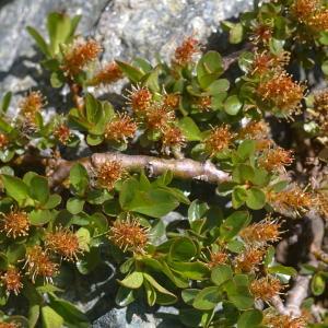 Photographie n°38772 du taxon Salix retusa L.