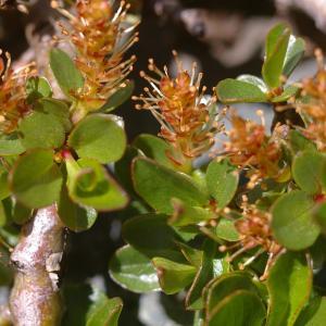Photographie n°38773 du taxon Salix retusa L.