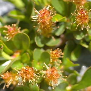 Salix retusa L. (Saule à feuilles émoussées)