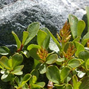 Photographie n°38776 du taxon Salix retusa L.