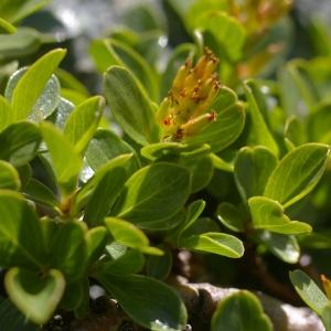 Photographie n°38777 du taxon Salix retusa L.