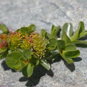 Photographie n°38795 du taxon Salix retusa L.