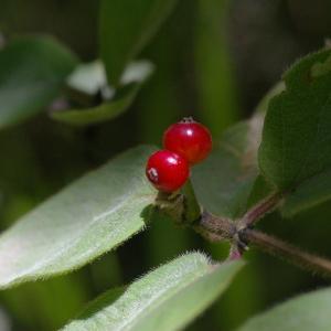 Photographie n°38805 du taxon Lonicera alpigena L. [1753]