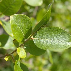 Photographie n°38820 du taxon Salix myrsinifolia Salisb. [1796]
