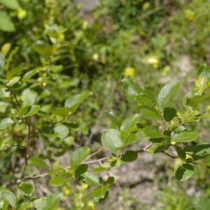 Photographie n°38821 du taxon Salix myrsinifolia Salisb. [1796]