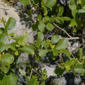 Photographie n°38822 du taxon Salix myrsinifolia Salisb. [1796]