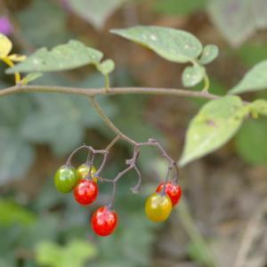 Photographie n°38850 du taxon Solanum dulcamara L. [1753]