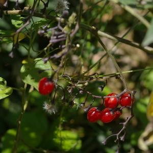 Photographie n°38863 du taxon Solanum dulcamara L. [1753]