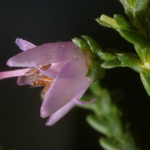 Photographie n°38871 du taxon Calluna vulgaris (L.) Hull