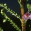 Michel POURCHET  - Calluna vulgaris (L.) Hull