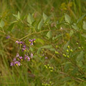 Photographie n°38982 du taxon Solanum dulcamara L. [1753]