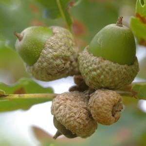 Photographie n°38992 du taxon Quercus pubescens Willd. [1805]