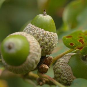 Photographie n°38993 du taxon Quercus pubescens Willd. [1805]