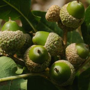Photographie n°38999 du taxon Quercus pubescens Willd. [1805]