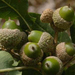 Photographie n°39000 du taxon Quercus pubescens Willd. [1805]