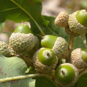 Photographie n°39001 du taxon Quercus pubescens Willd. [1805]