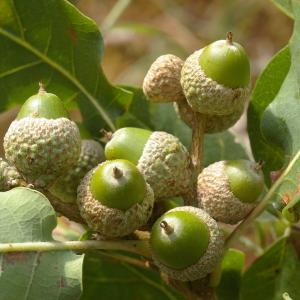 Photographie n°39002 du taxon Quercus pubescens Willd. [1805]