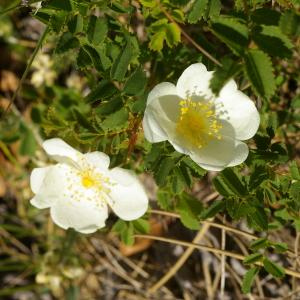 Photographie n°39029 du taxon Rosa majalis Herrm.