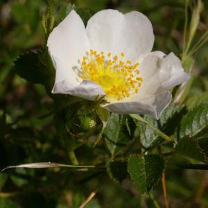 Photographie n°39031 du taxon Rosa majalis Herrm.