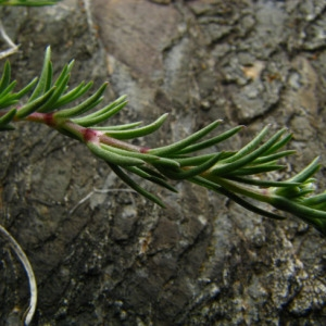 Photographie n°39040 du taxon Scleranthus perennis L.