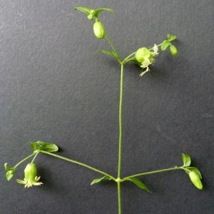 Photographie n°39068 du taxon Cucubalus baccifer L. [1753]