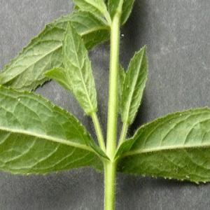 Photographie n°39075 du taxon Epilobium hirsutum L. [1753]