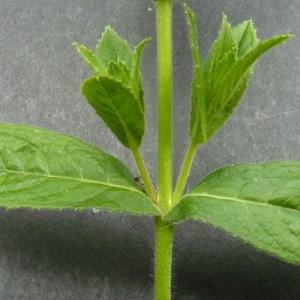 Photographie n°39076 du taxon Epilobium hirsutum L. [1753]
