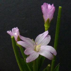 Photographie n°39079 du taxon Epilobium parviflorum Schreb. [1771]