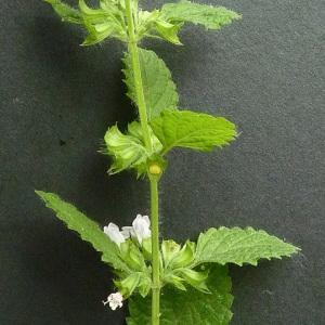 Photographie n°39087 du taxon Melissa officinalis L.