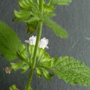 Photographie n°39088 du taxon Melissa officinalis L.