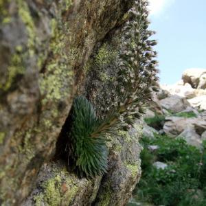 Photographie n°39106 du taxon Saxifraga florulenta Moretti