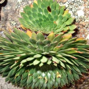 - Saxifraga florulenta Moretti
