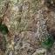 Claude HENRY - Saxifraga florulenta Moretti