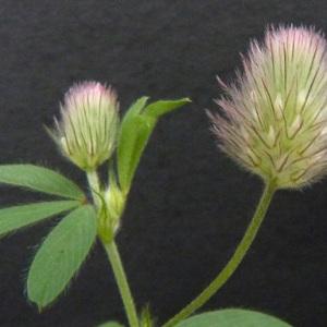 Photographie n°39149 du taxon Trifolium arvense L.