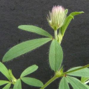 Photographie n°39150 du taxon Trifolium arvense L.