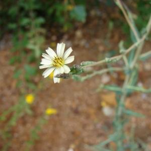 Photographie n°39175 du taxon Lactuca saligna L.