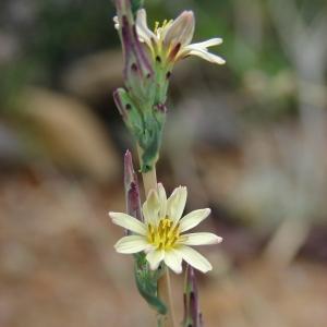 Photographie n°39178 du taxon Lactuca saligna L.