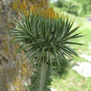 Photographie n°39244 du taxon Onopordum acanthium L.